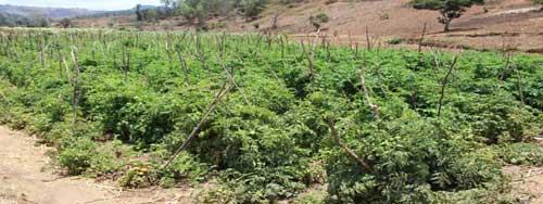 linda-tomatoe-field