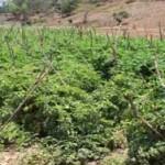 linda-tomatoe-field-3
